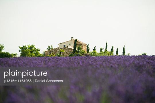 Lavendelfeld, bei Valensole, Plateau de Valensole, Alpes-de-Haute-Provence, Provence, Frankreich - p1316m1161033 von Daniel Schoenen