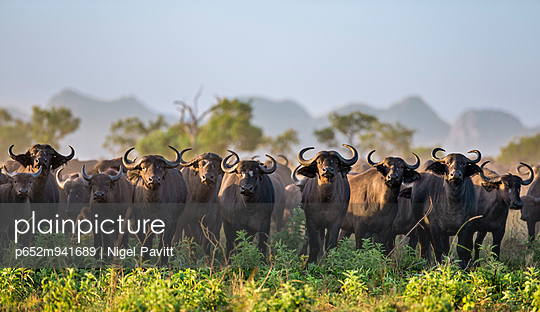 Uganda, Kidepo. One of many large herds of buffalo that can be seen in the Kidepo Valley National Park which covers 1,436 sq km of wilderness in the spectacular northeast of Uganda, bordering Southern Sudan.