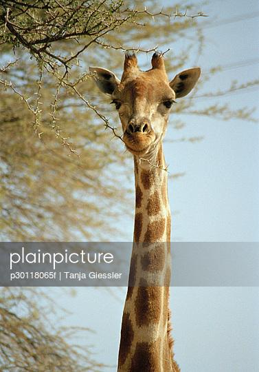High section of giraffe eating branch, Etosha National Park, Namibia