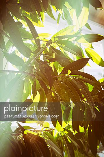 Zimmerpflanze im Morgenlicht - p1149m1162688 von Yvonne Röder