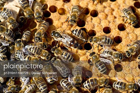Bienenkönigin und Bienen auf Waben, Freiburg im Breisgau, Baden-Württemberg, Deutschland - p1316m1160728 von Daniel Schoenen
