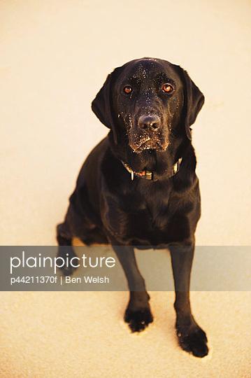 A Black Labrador Dog