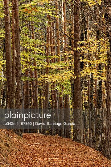 Autumn scene. Trees in a landscape in the Hayedo de Tejera Negra, Spain.
