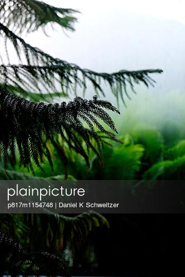 Tanne - p817m1154748 von Daniel K Schweitzer