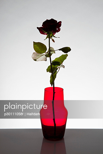 A single rose in a vase