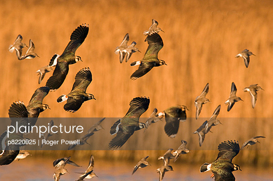 Flocks of Lapwing (Vanellus vanellus) and Dunlin (Calidris alpina) flying in to land and roost. Cresswell, Northumberland, UK