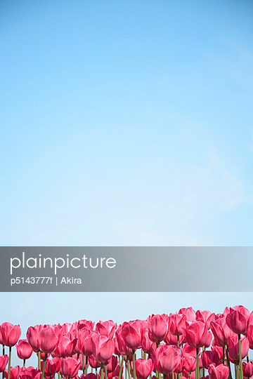 Red tulips against blue sky, blue background, copy space, Tokyo prefecture, Japan