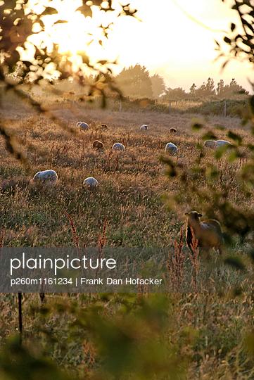 Schafe auf der Weide - p260m1161234 von Frank Dan Hofacker