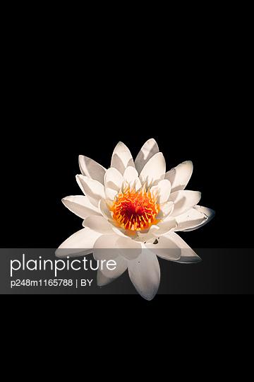 Weiße Seerose vor Schwarz - p248m1165788 von BY