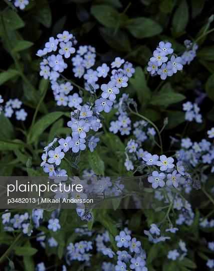 Numerous small light violet flowers