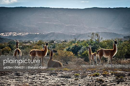 Medium group of Guanaco grazing, Valle de la Luna, San Juan Province, Argentina