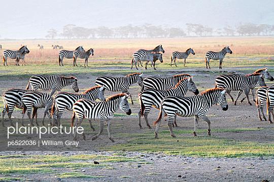 Herd of plains zebra, Ngorongoro Crater, Tanzania