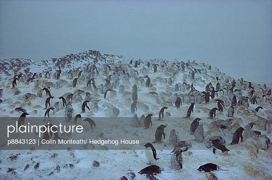 Adelie Penguin group in blizzard