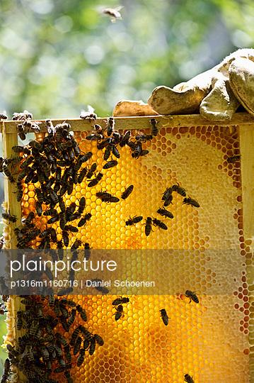 Imker hält Honigwaben und Bienen, Freiburg im Breisgau, Schwarzwald, Baden-Württemberg, Deutschland - p1316m1160716 von Daniel Schoenen