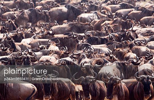 A crowd of wildebeest (Connochaetes) in Kenya\'s Masai Mara.