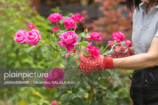 Woman tending to rose bush