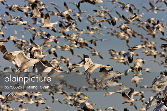 Flock of goose flying mid air