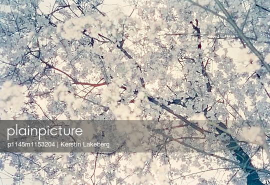 Kirschblüten - p1145m1153204 von Kerstin Lakeberg