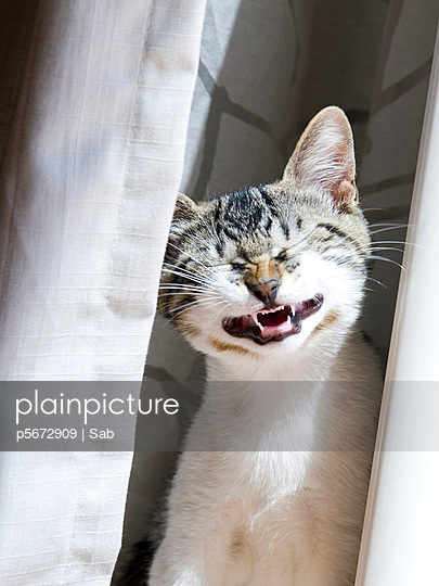grimace of the striped cat