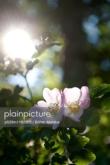 Zwei Wildrosenblüten - p533m1182303 von Böhm Monika