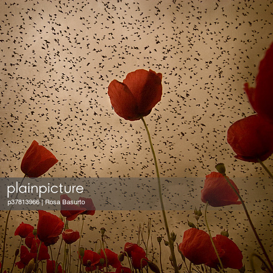 Bird flock over poppies