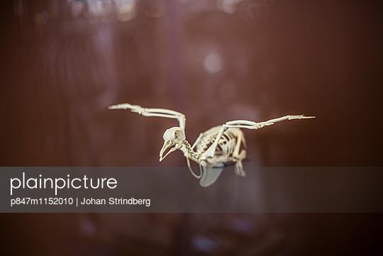 Skeletons of flying bird in a museum