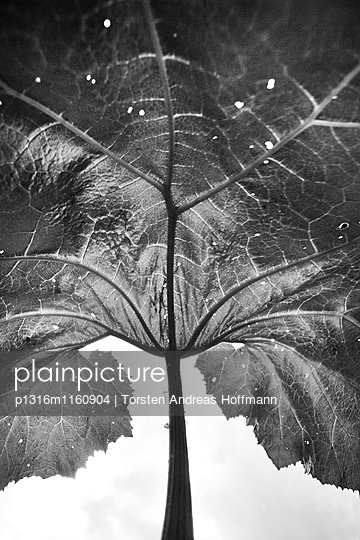Großes Blatt mit Struktur, Pflanze, Natur - p1316m1160904 von Torsten Andreas Hoffmann