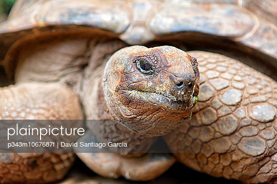 One of the 157 giant turtles of the Changuu (Prison) Island of Zanzibar.