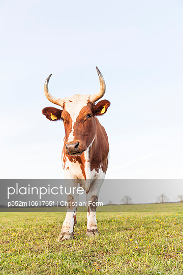 Sweden, Sodermanland, Jarna, Close-up shot of bull in farm pastureland
