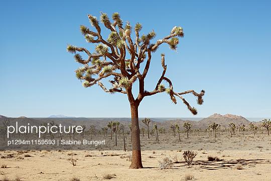 Joshua Tree - p1294m1159593 von Sabine Bungert