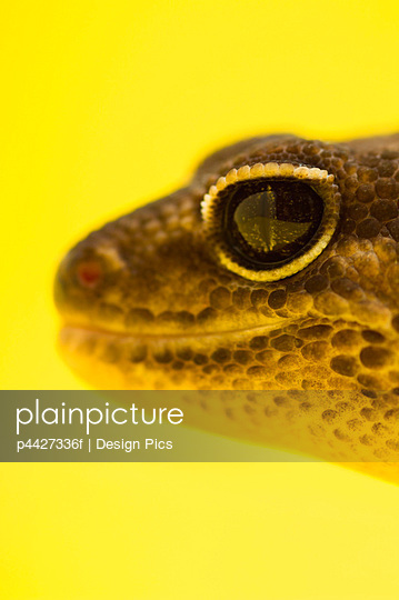 Close Up Of African Fat-Tailed Gecko On Yellow