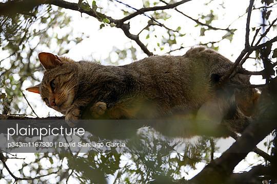 Wildcat in MonfragÌ_e National park, caceres, extremadura, spain