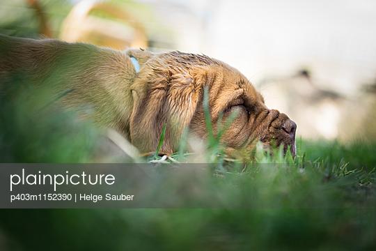 Bordeauxdogge - p403m1152390 von Helge Sauber