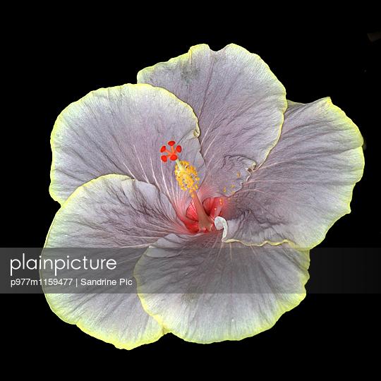 Hibiskusblüte auf schwarzem Hintergrund - p977m1159477 von Sandrine Pic