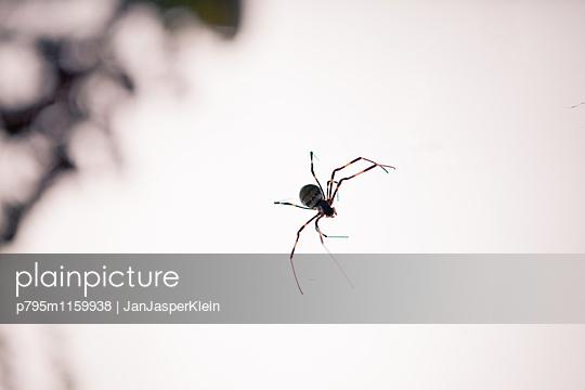 Nephila clavata im Netz - p795m1159938 von Janklein