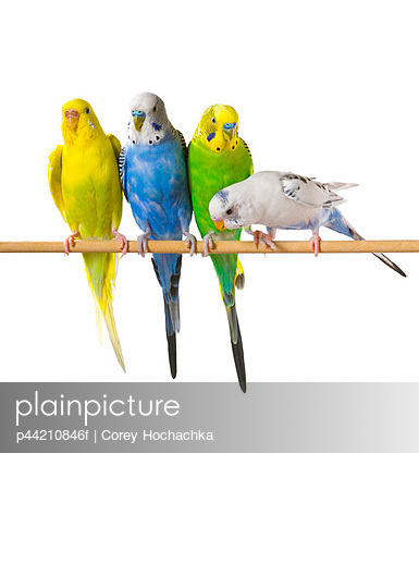 Budgie Birds On A Perch