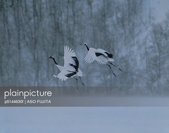Japanese Cranes flying above snowy field, Tsurui, Hokkaido, Japan