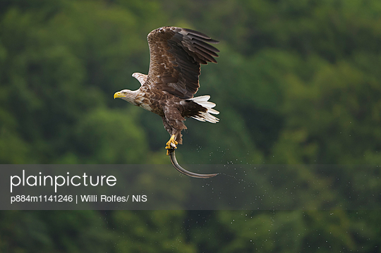 White-tailed Eagle flying with caught eel, Feldberg, Mecklenburg-Vorpommern, Germany
