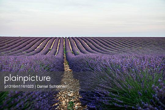 Lavendelfeld, bei Valensole, Plateau de Valensole, Alpes-de-Haute-Provence, Provence, Frankreich - p1316m1161023 von Daniel Schoenen