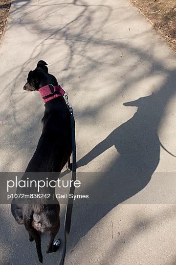Greyhound and shadow 2