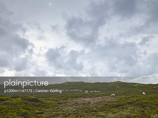 Schafe in den Dünen - p1200m1147173 von Carsten Görling