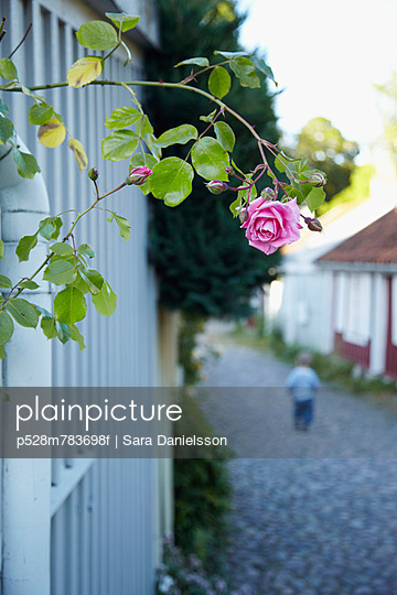 Pink rose above alley