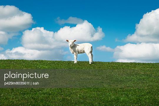 One sheep in field