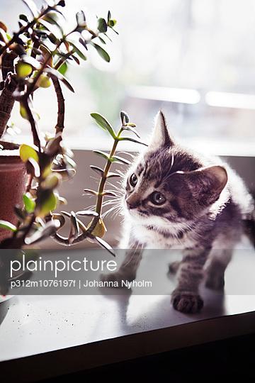 Kitten looking at flower on sill