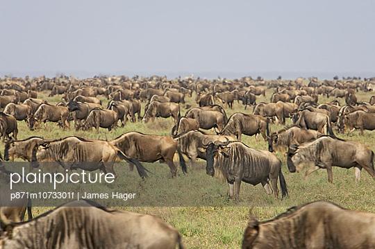 Herd of blue wildebeest (brindled gnu) (Connochaetes taurinus), Serengeti National Park, Tanzania, East Africa, Africa