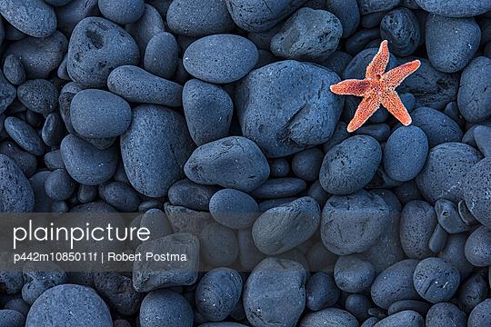 Starfish On Black Rocks Along The Coast; Iceland