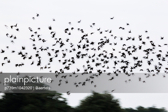 Flock of starlings in flight