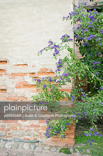 Bush with purple flowers next to brick wall