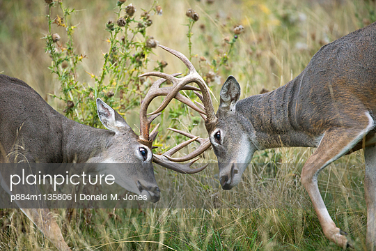 White-tailed Deer bucks sparring, western Montana