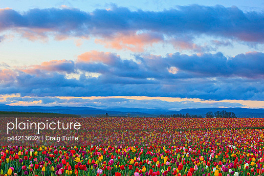 sunrise over a tulip field at wooden shoe tulip farm; woodburn oregon united states of america